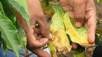 coffee leaf rust.jpg