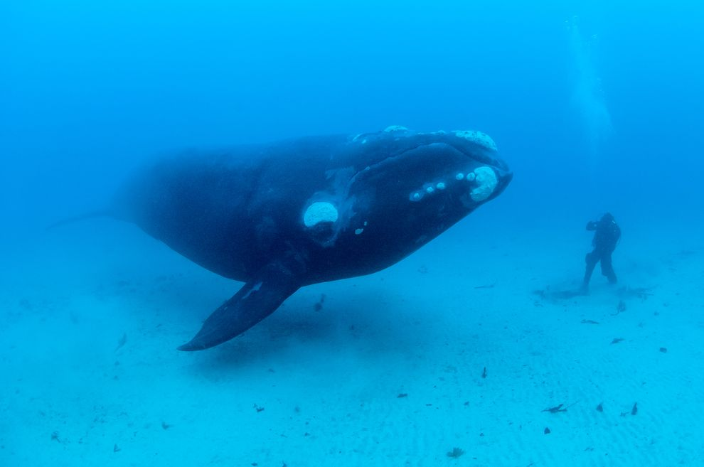 Southern Right Whales, (Eubalaena australis) underwater off the Auckland Islands, New Zealand (sub Antarctic islands)..