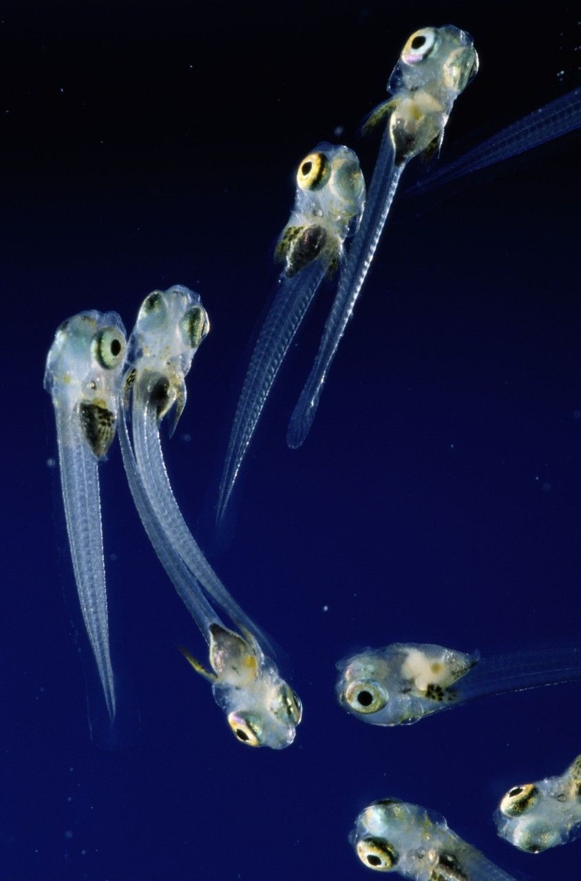 Picture of striped blenny fish larvae